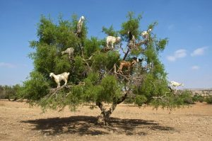 Goats Climbing the Argan Tree in Morocco